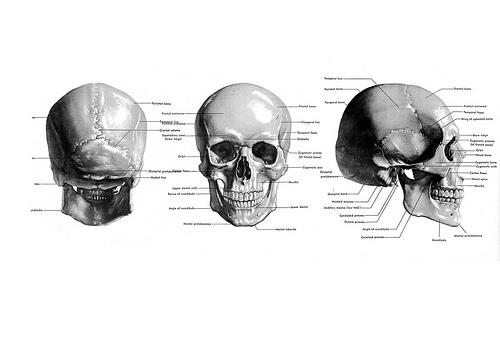 skull diagram   Mandy Boursicot   Canadian Artist